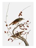 Audubon: Thrush