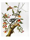 Audubon: Woodpecker  1827