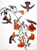Audubon: Hummingbird
