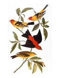 Audubon: Tanager  1827