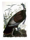 Audubon: Turkey