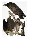 Audubon: Turkey Vulture