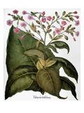 Botany: Tobacco Plant