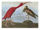 Audubon: Scarlet Ibis