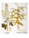 Mustard Plant  1613