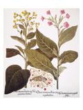 Tobacco Rustica  1613