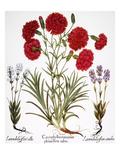 Carnation & Lavender  1613