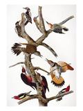 Audubon: Woodpeckers