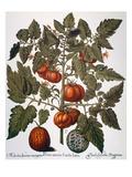 Tomato & Watermelon 1613