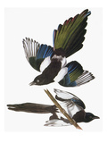 Audubon: Magpie