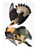 Audubon: Caracara  1827-38