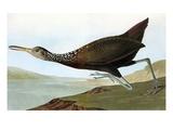 Audubon: Limpkin