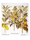 Citron And Orange  1613