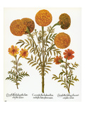 Marigolds  1613