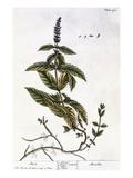 Mint Plant  1735