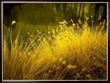 Golden Plants along River with Reflections of Trees Photo encadrée par Jan Lakey