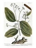 Cinnamon Tree  1735