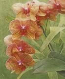 Island Orchid III