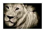 Effet de crinière (lion) Reproduction d'art par Bobbie Goodrich