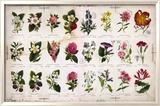 Botanique vintage Reproduction encadrée