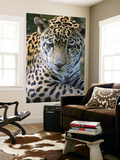 Wildlife in Belize  Jaguar