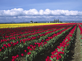 A Field of Tulips with Stormy Skies  Skagit Valley  Washington  Usa