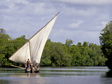 Dhow Sailing in Mangrove Channel  Lamu  Kenya