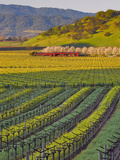 Spring Mustard Flowers in Screaming Eagle Vineyard  Napa Valley  Napa County  California  Usa