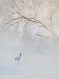 Hooded Crane Walks Through a Cold River under Hoarfrost-Covered Trees  Tsurui  Hokkaido  Japan