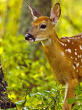 Whitetail Deer Fawn in Whitefish  Montana  Usa
