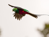 Resplendent Quetzal in Flight  Costa Rica