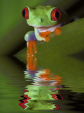 Reflection of Red-Eyed Tree Frog in Water