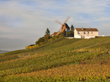 Windmill and Vineyards  Verzenay  Champagne Ardenne  Marne  France