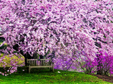 Wooden Bench under Cherry Blossom Tree in Winterthur Gardens  Wilmington  Delaware  Usa