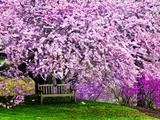 Wooden Bench under Cherry Blossom Tree in Winterthur Gardens  Wilmington  Delaware  Usa