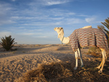 Great Dune and Camel  Douz  Sahara Desert  Tunisia