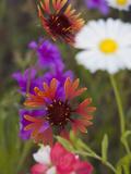 Prairie Gaillardia and Various Wildflowers  Texas  Usa
