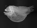 Bulbous Deep Sea Angler