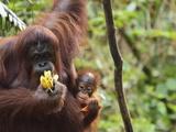 Orangutan (Pongo Borneo)  Semenggoh Wildlife Reserve  Sarawak  Borneo  Malaysia