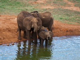 Elephants (Loxodonta Africana) at Water Hole  Tsavo East National Park  Kenya  East Africa  Africa
