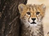Cheetah (Acinonyx Jubatus) Cub  Masai Mara  Kenya  East Africa  Africa
