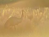 Emu  Wilsons Promontory National Park  Victoria  Australia  Pacific