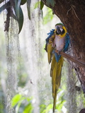 Blue Macaw  El Gallineral Park  San Gil  Colombia  South America