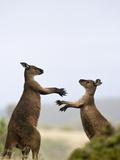 Kangaroo Island Grey Kangaroos (Macropus Fuliginosus)  Lathami Conservation Park  Australia
