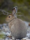 Snowshoe Hare (Lepus Americanus)  Banff National Park  Alberta  Canada  North America