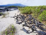 Marine Iguanas (Amblyrhynchus Cristatus)  Isla Isabela  Galapagos Islands  Ecuador