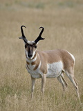 Pronghorn (Antilocapra Americana) Buck  Custer State Park  South Dakota  USA