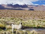 Llama in the Altiplano  Bolivia  South America