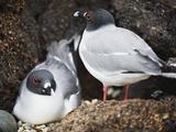 Swallow Tailed Gull (Creagrus Furcatus)  Isla Genovesa  Galapagos Islands  Ecuador
