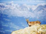 Ibex (Capra Ibex)  on Lower Slopes of Mont Blanc  Chamonix  French Alps  France  Europe